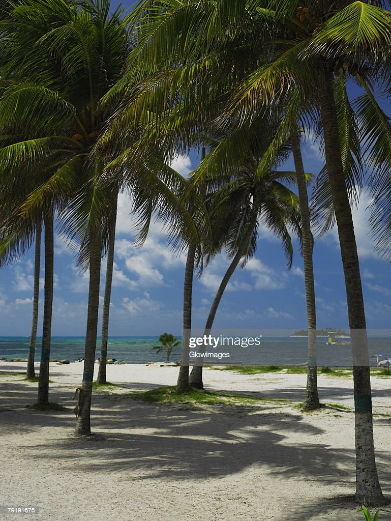 Palm trees on the beach, Spratt Bight Beach, San Andres, Providencia y Santa Catalina, San Andres y Providencia Department, Colombia : Foto de stock