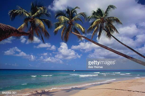 Palm trees overhanging deserted tropical beach,Barbados,Caribbean