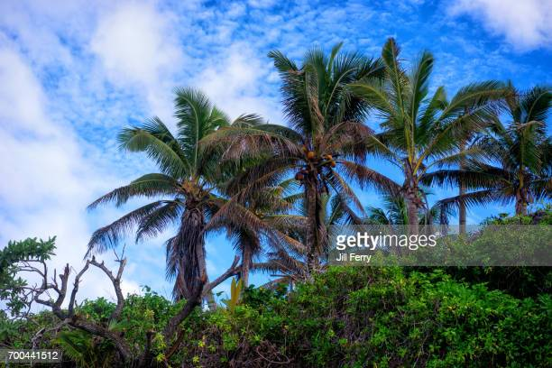 palm trees - american samoa stock pictures, royalty-free photos & images
