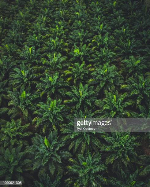 palm trees plantation - plantation stock pictures, royalty-free photos & images