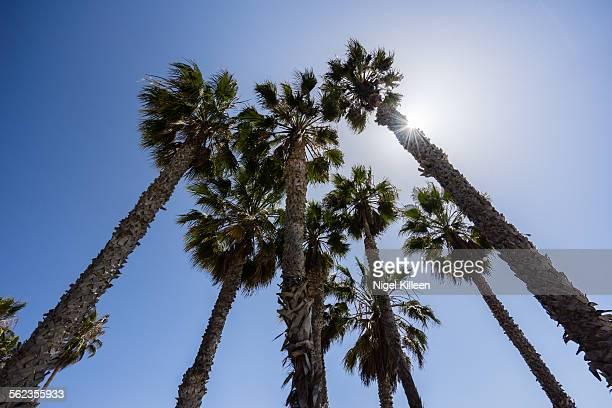 Palm Trees, Santa Monica Beach