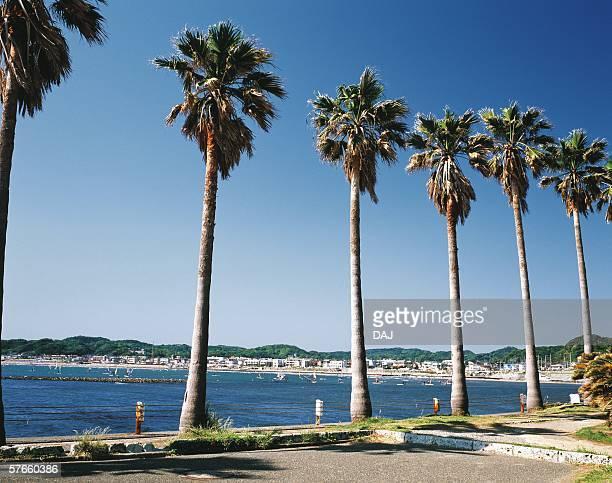 Palm trees side of Zaimokuza Beach