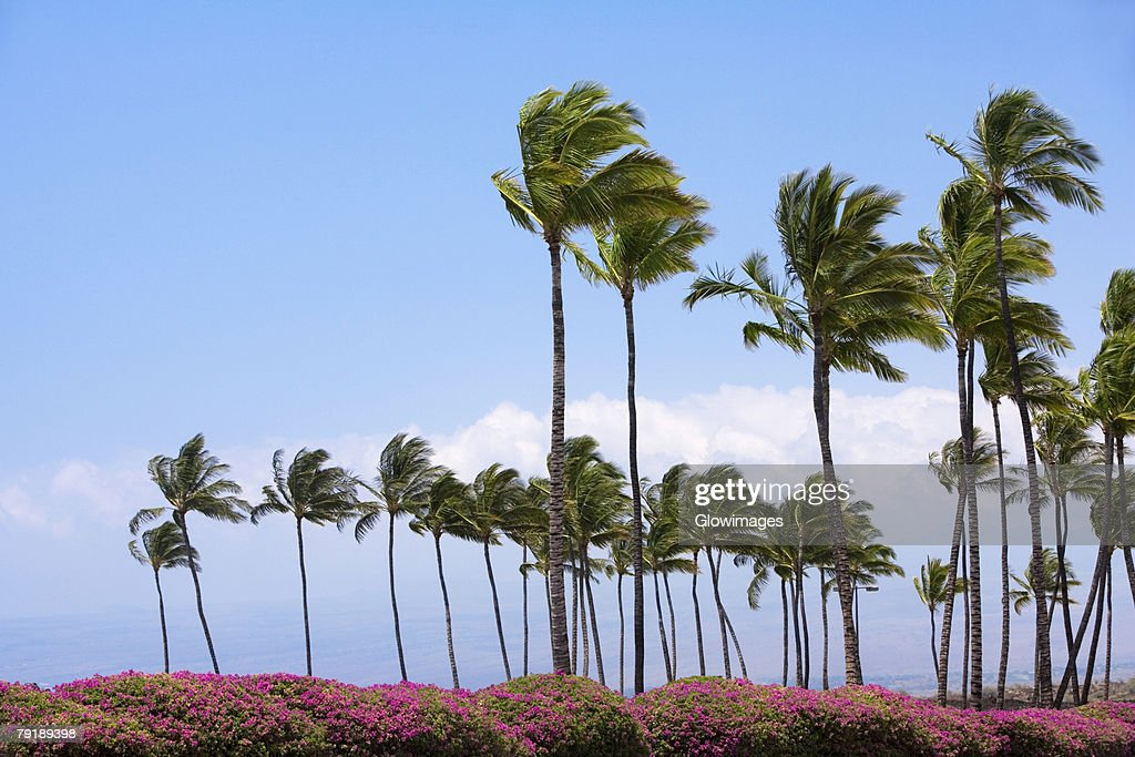 Palm trees swaying in the wind, Kona Coast, Big Island, Hawaii Islands, USA : Foto de stock