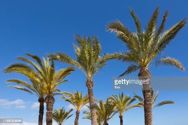 palm trees with blue sky - palmera fotografías e imágenes de stock