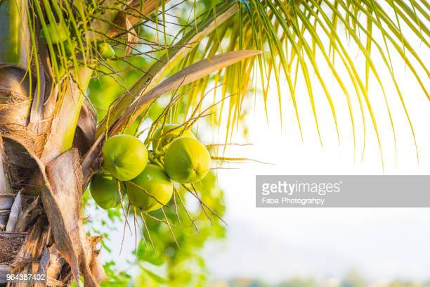 palm trees with coconuts and sunset in background - coconut stock pictures, royalty-free photos & images