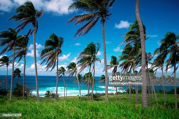 palm trees with fronds blowing in the wind on sandy bay beach on saint kitts, caribbean - st. kitts stock photos and pictures