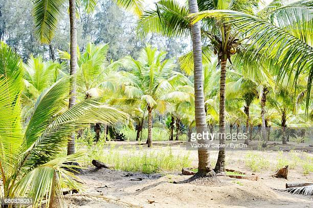 Palm Trees With Green Leaves In A Sunny Day