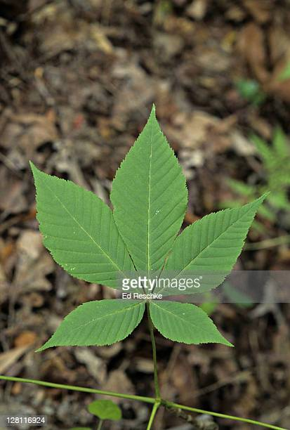palmately compound leaf. aesculus glabra. ohio buckeye. leaflets. great smoky mountains. - picture of a buckeye tree stock photos and pictures