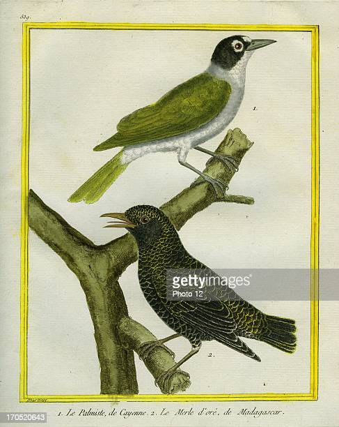 Palmchat and Eurasian Golden Oriole Oriolus oriolus1 Palmchat2 Eurasian Golden OrioleGeorgesLouis Leclerc Comte of Buffon Natural History of birds...