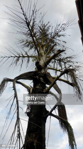 palmeira seca - sem fim... valéria del cueto stock pictures, royalty-free photos & images