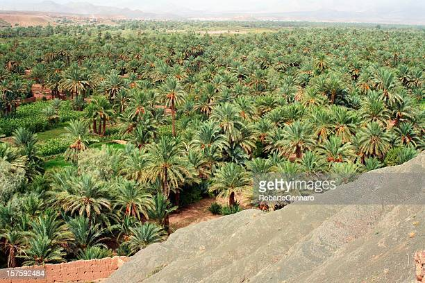 palmetto in morocco - date palm tree stock pictures, royalty-free photos & images