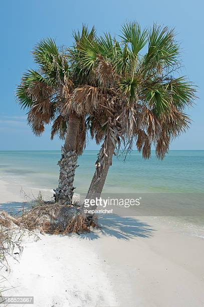 palmetto palm trees on the beach with blue water - palmetto florida stock pictures, royalty-free photos & images