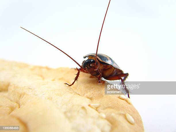 a palmetto roach climbing on some bread - cockroach stock photos and pictures