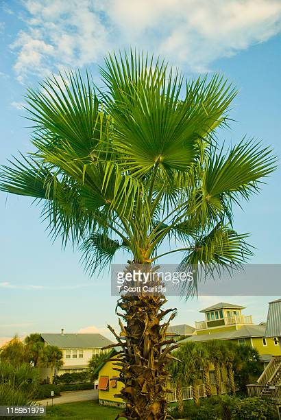 palmetto tree in florida - palmetto florida stock pictures, royalty-free photos & images