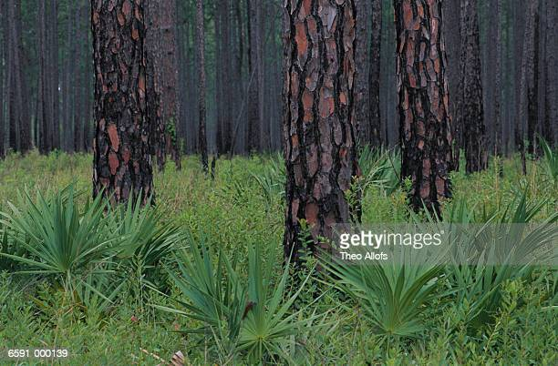 palmettos in pine forest - pine log state forest stock photos and pictures