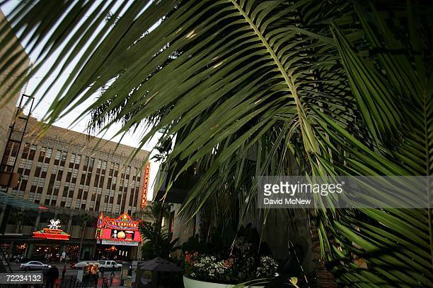 Palms grow at the Hollywood and Highland complex across the street from the El Capitan theater as many of the areas palms fade into history because...