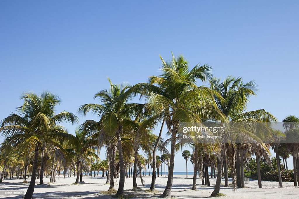 Palms on a beach : Stock Photo