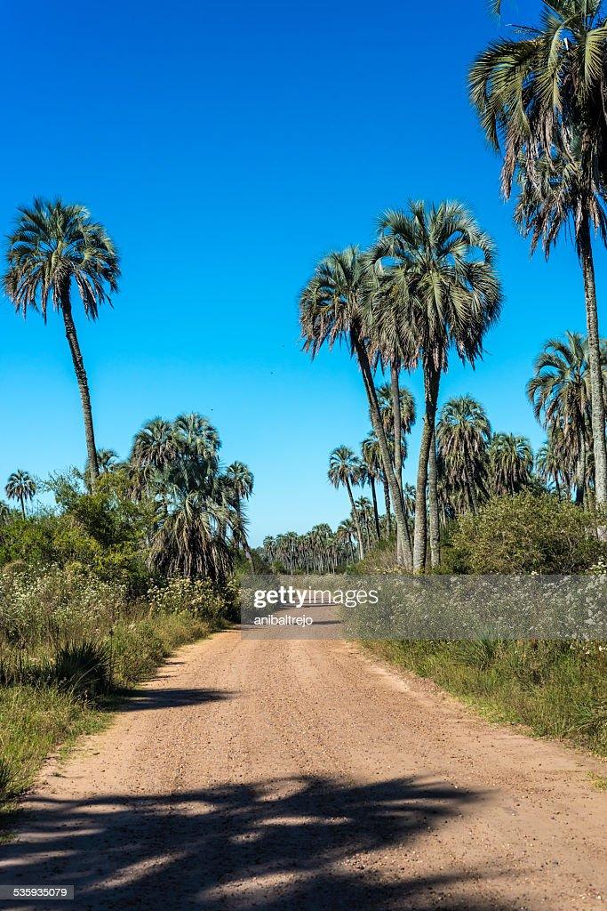 Palms on El Palmar National Park, Argentina : Stock Photo
