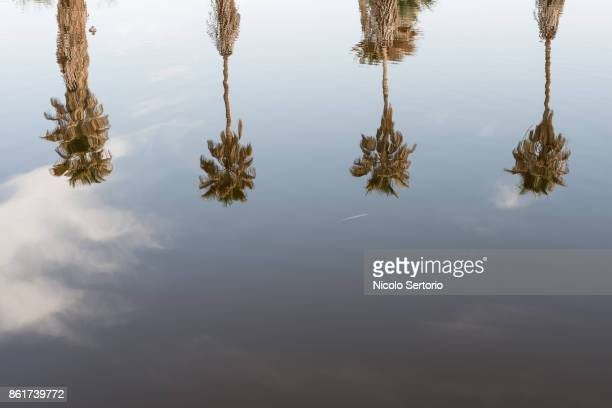 palms reflected in water - カリフォルニア州ベーカー ストックフォトと画像