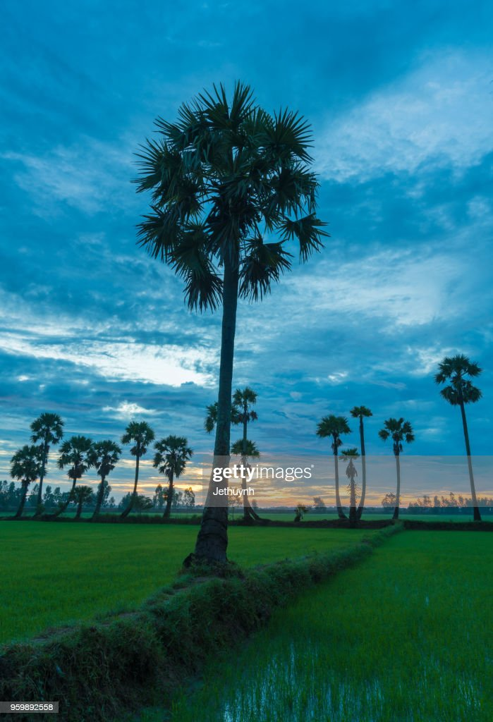 Palms trees on the rice field in Chau Doc, Vietnam : Stock-Foto