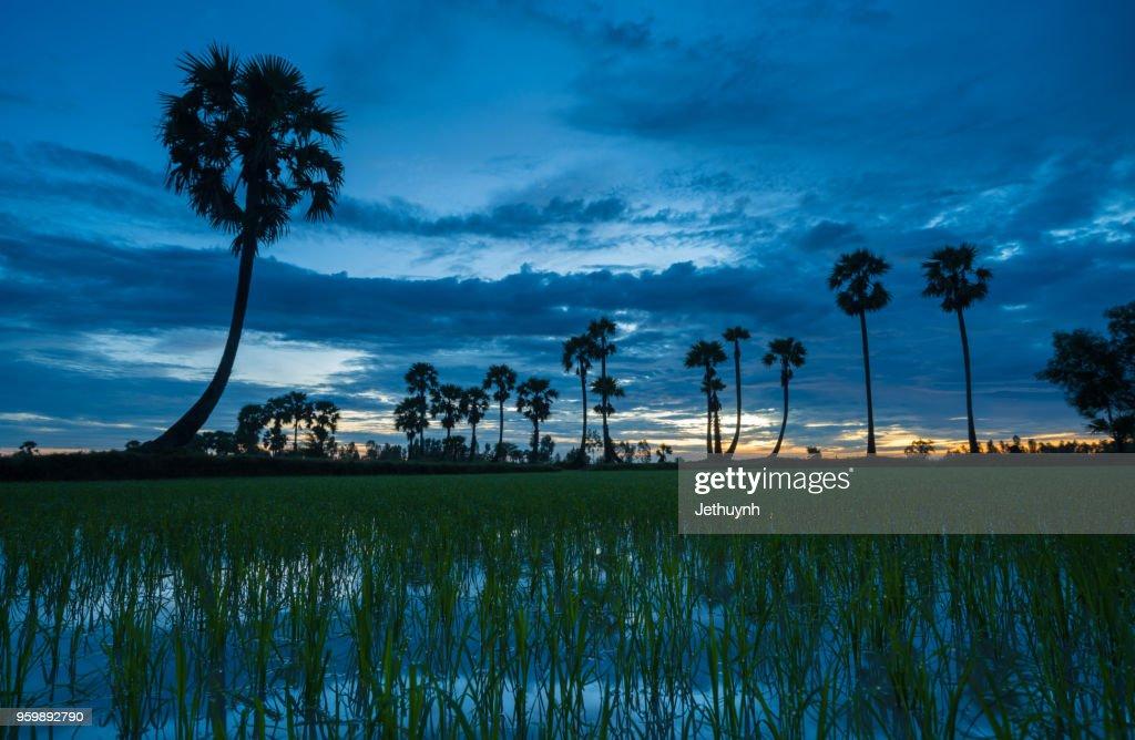Palms trees on the rice field in Chau Doc, Vietnam : Stock-Foto