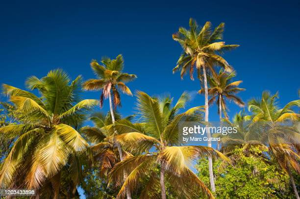 palms trees under a deep blue sky, plage des saline, martinique - palm tree stock pictures, royalty-free photos & images