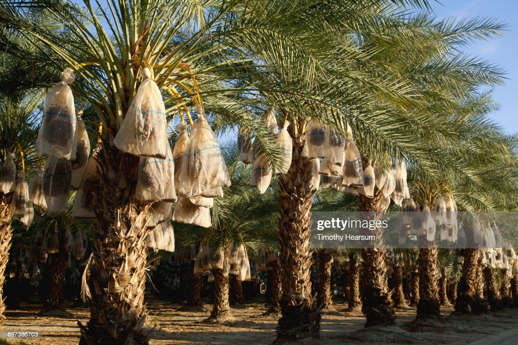 Palms with date clusters covered by bags : Stock Photo