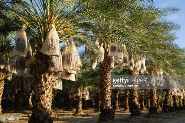 palms with date clusters covered by bags - timothy hearsum stock pictures, royalty-free photos & images