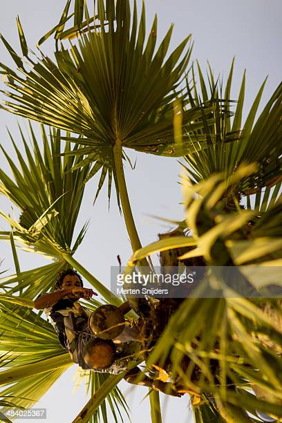 Palmtree farmer collecting juices