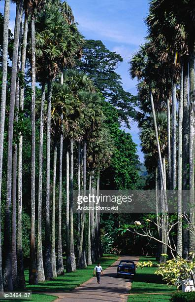 Palmyra Avenue of royal palms in Peradeniya Botanical Gardens, Kandy, Central, Sri Lanka, Indian Sub-Continent