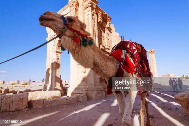 palmyra, camel - arch of septimus severus stock pictures, royalty-free photos & images