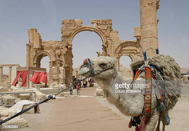 Picture shows a camel in the historic town of Palmyra during the al-Badia festival, northeastern Damascus, 05 May 2007. The festival activities, held...