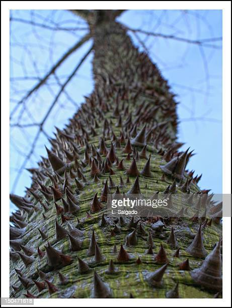 palo borracho - tree with thorns on trunk stock photos and pictures