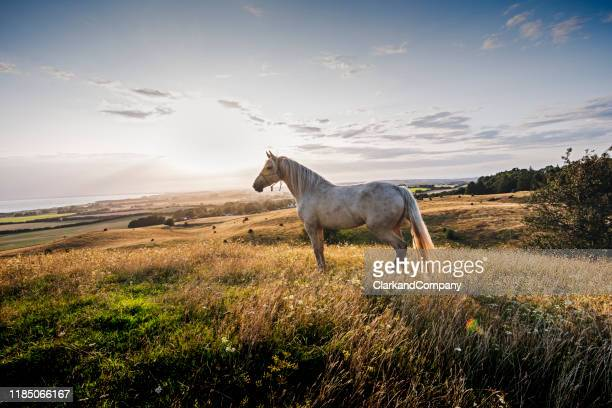 palomino horse at sunset - horse stock pictures, royalty-free photos & images