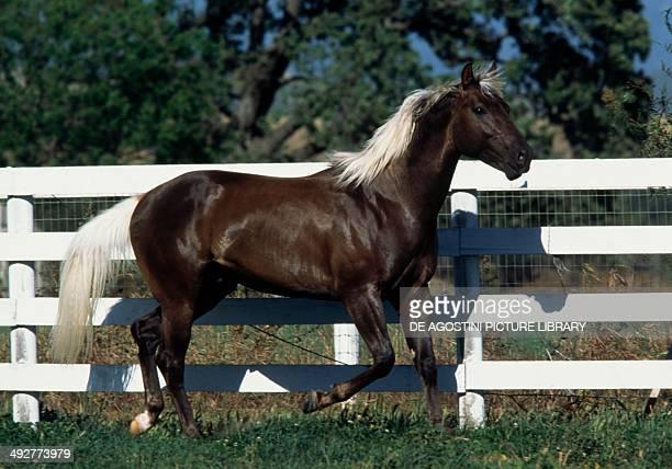 Palomino horse Equidae