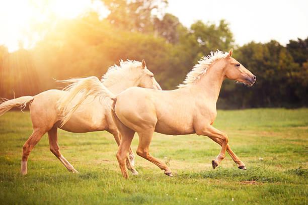 Palomino Horses Cantering In Field Wall Art