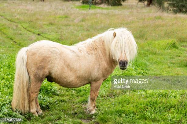 palomino pony with hair over its face standing in a paddock - pony stock pictures, royalty-free photos & images