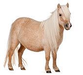 Palomino Shetland pony, Equus caballus, standing, white background.