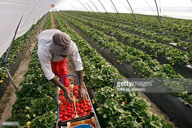 A picture shows Steven a worker coming from Ghana working at a strawberry green house 17 February 2006 in Palos de la Frontera Huelva southern Spain...