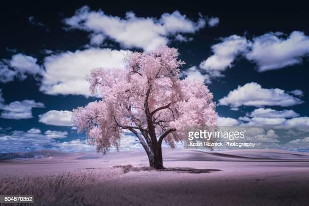 palouse cottonwood in pink - infrarosso foto e immagini stock