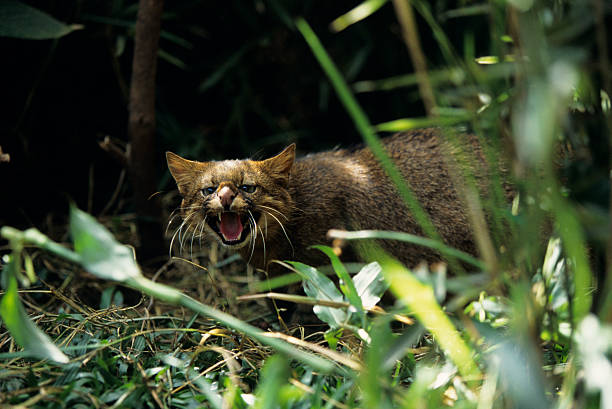 Pampas cat (Felis colocolo), Central or South America