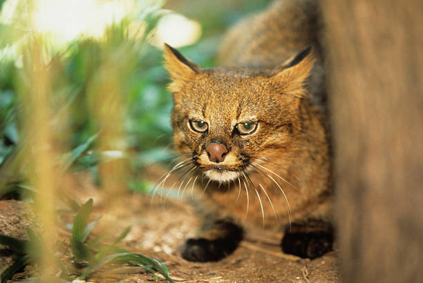 Pampas cat (Felis colocolo), close-up