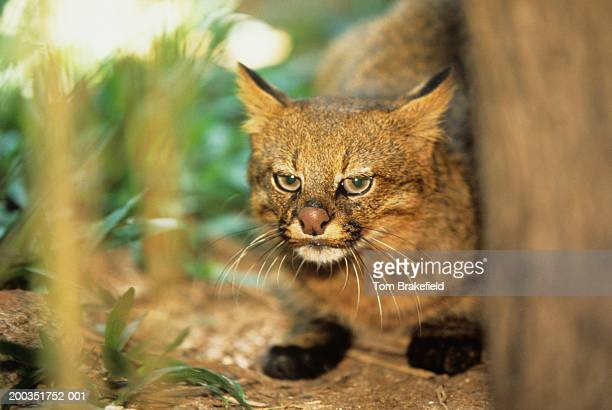 Pampas cat (Felis colocolo), close-up