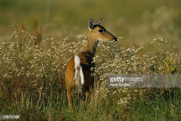 pampas deer (ozotoceros bezoarticus); serra da canastra national park, brazil - pampa stock-fotos und bilder