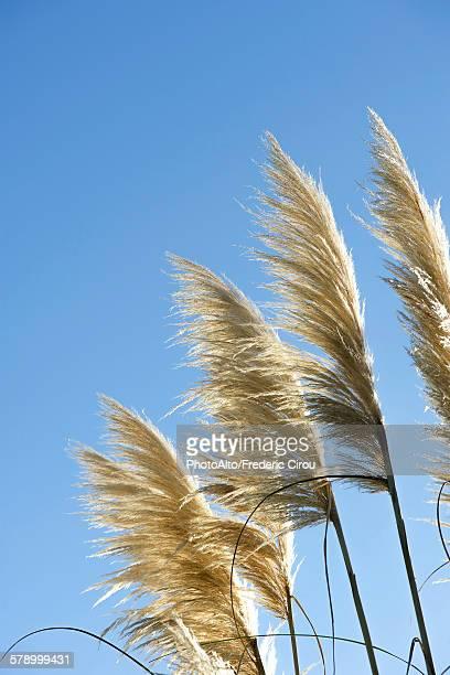 pampas grass against blue sky - pampa stock-fotos und bilder