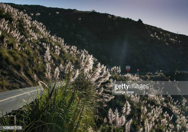 Pampas grass an invasive plant grows along a hillside near the mouth of the Russian River as viewed on September 21 near Jenner California A cool...