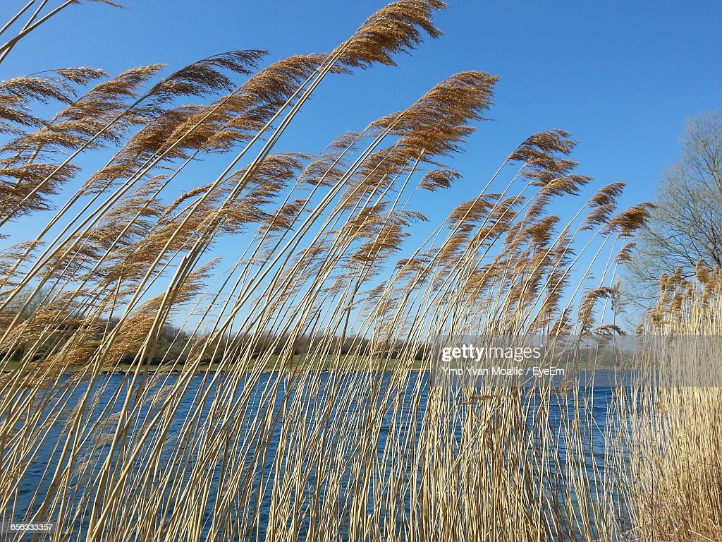 Pampas Grass At Riverbank Against Clear Blue Sky : Stock-Foto