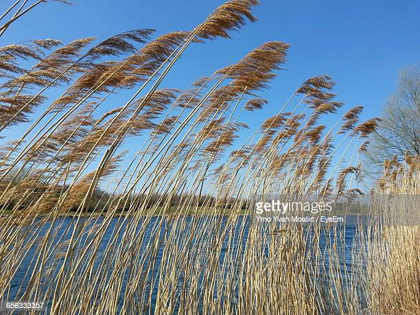 Pampas Grass At Riverbank Against Clear Blue Sky