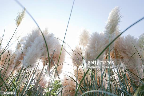 pampas grass (cortaderia selloana) at sunrise - pampa stock-fotos und bilder
