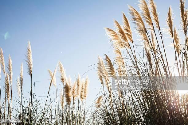 pampas grass backlit by sun - pampa stock-fotos und bilder